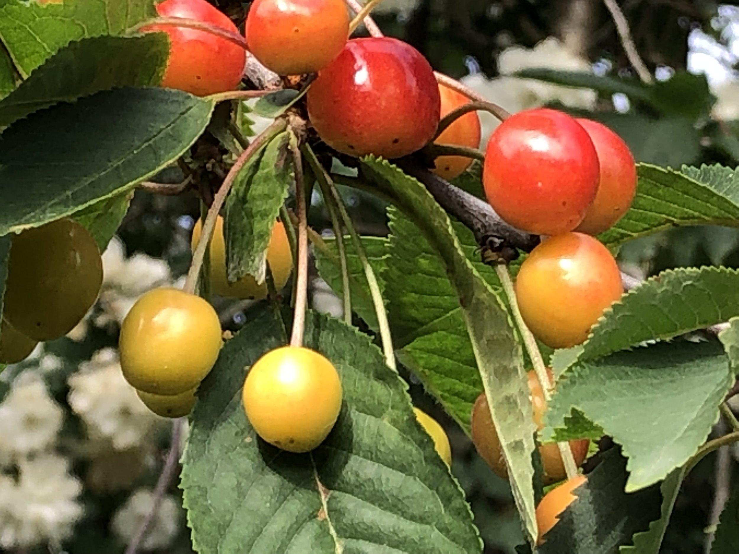 JUNI - kort og fyndig sesong før kaiene spiste opp bæra