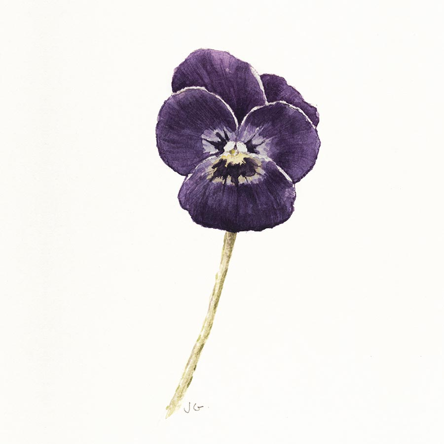 Pretty little watercolour of a deep purple viola