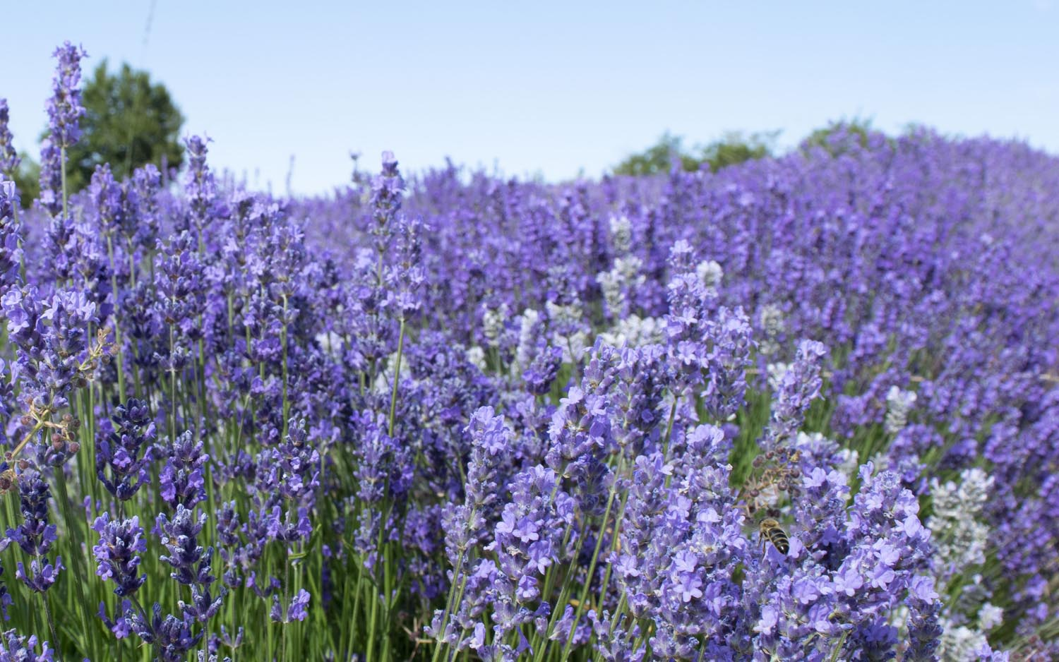 The best lavender for bees