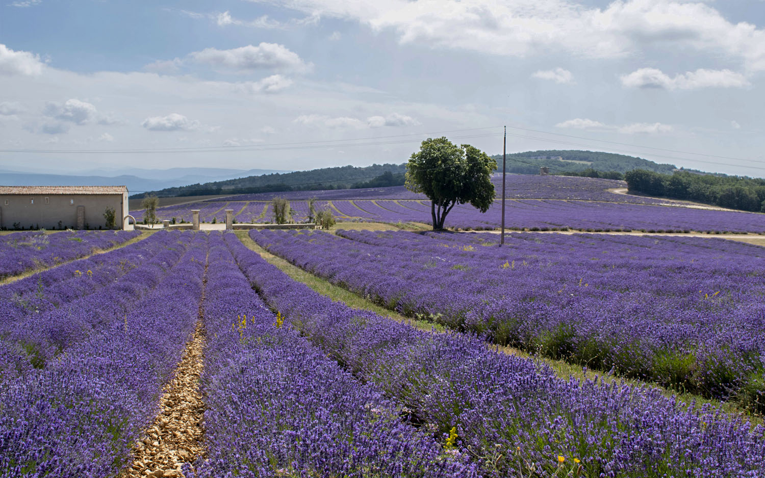 If you don't mind a difficult mountain drive, the fields at  Le Chateau du Bois  are beyond special. The essential oils they produce are used in the finest perfumes.