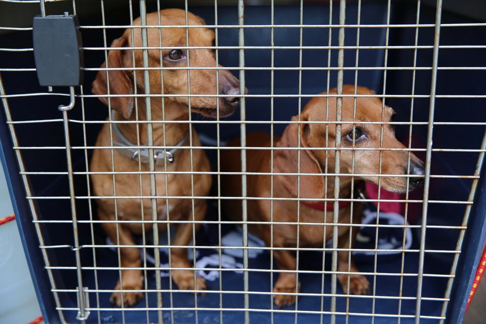 dachshund in crate