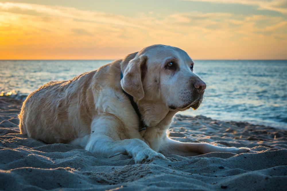 Old Labrador lying on sand