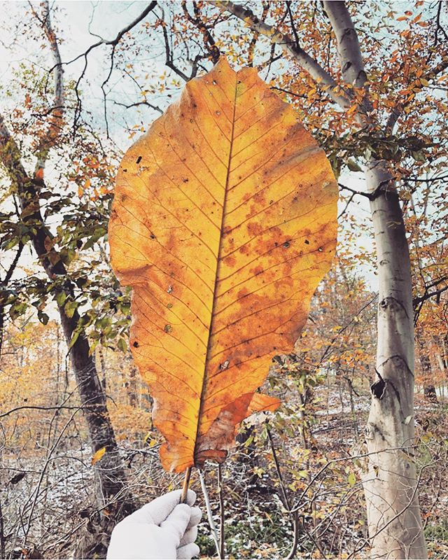 Anyone else feelin' lucky this week? Looks like we have a runner up... 🤗🍁 #largestleafoftheseason #optoutside #marylandtrails #mybmore @lake_roland