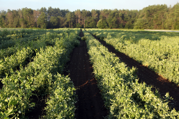 rows of peas in field.jpg