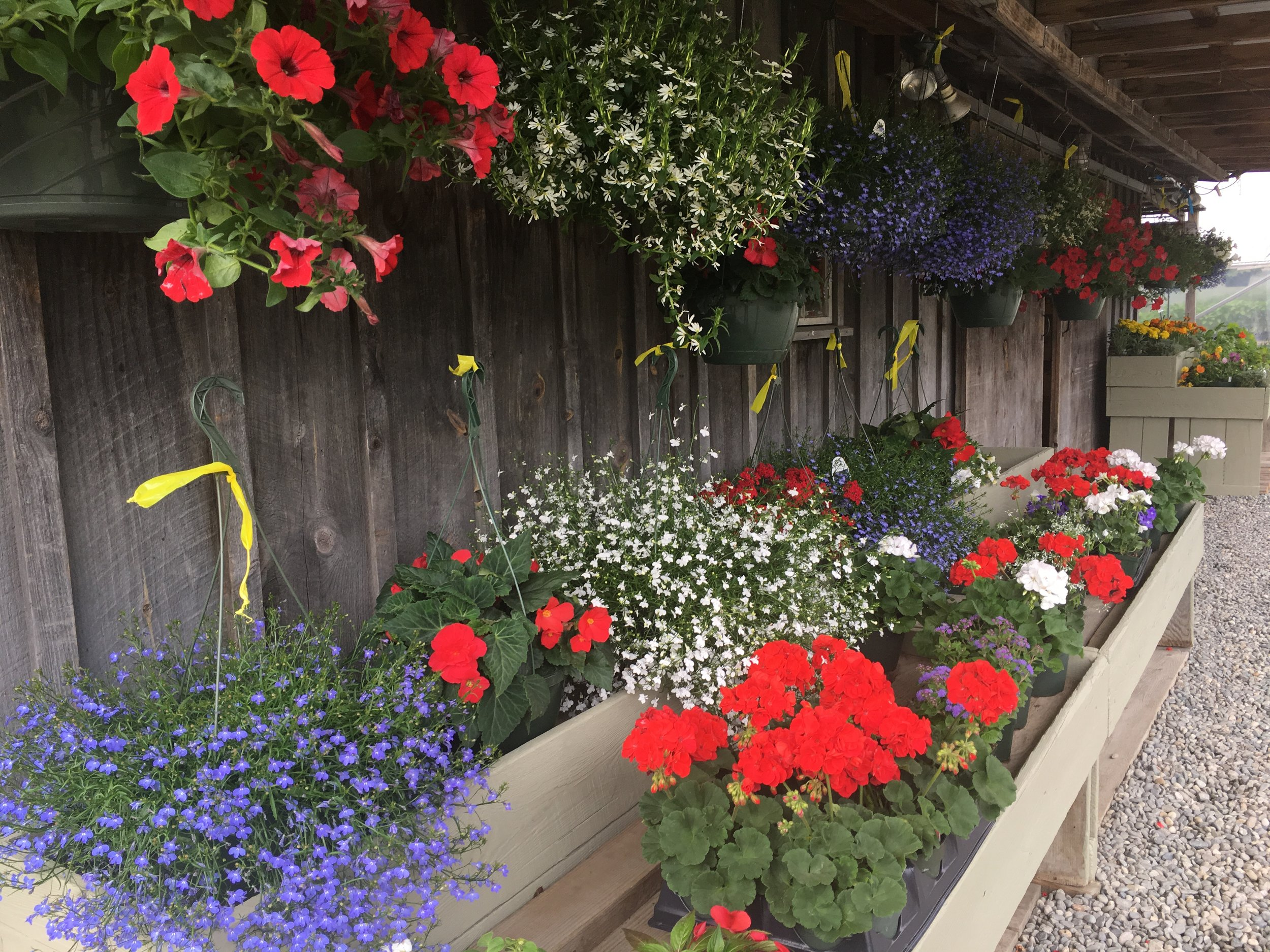 Hooray for Red, White & Blue!!  Petunias, Geraniums, Scaevola, Lobelia, Browalia & more!
