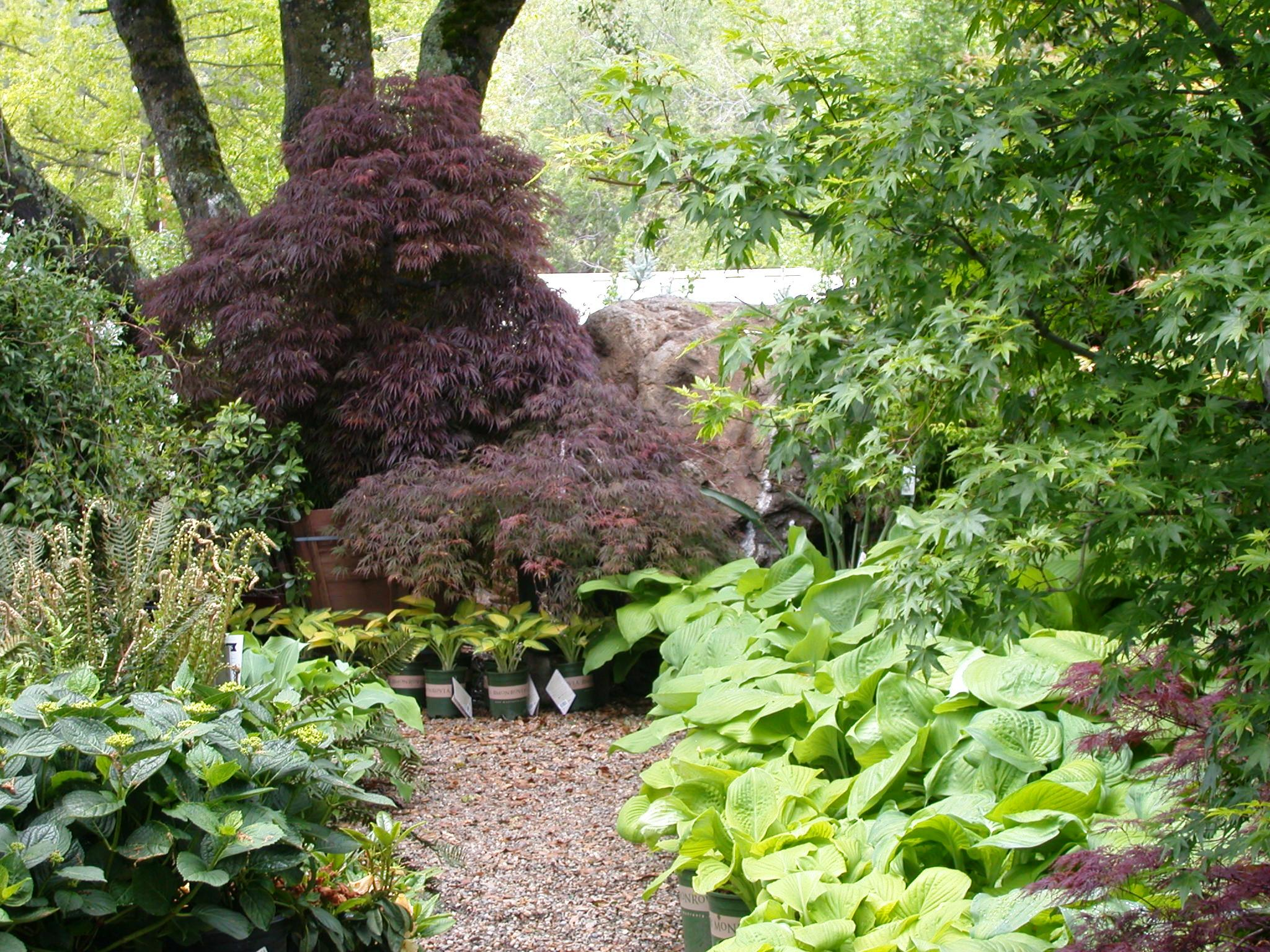 Maples, hostas, ferns and hydrangeas in spring at El Dorado Nursery and Garden.