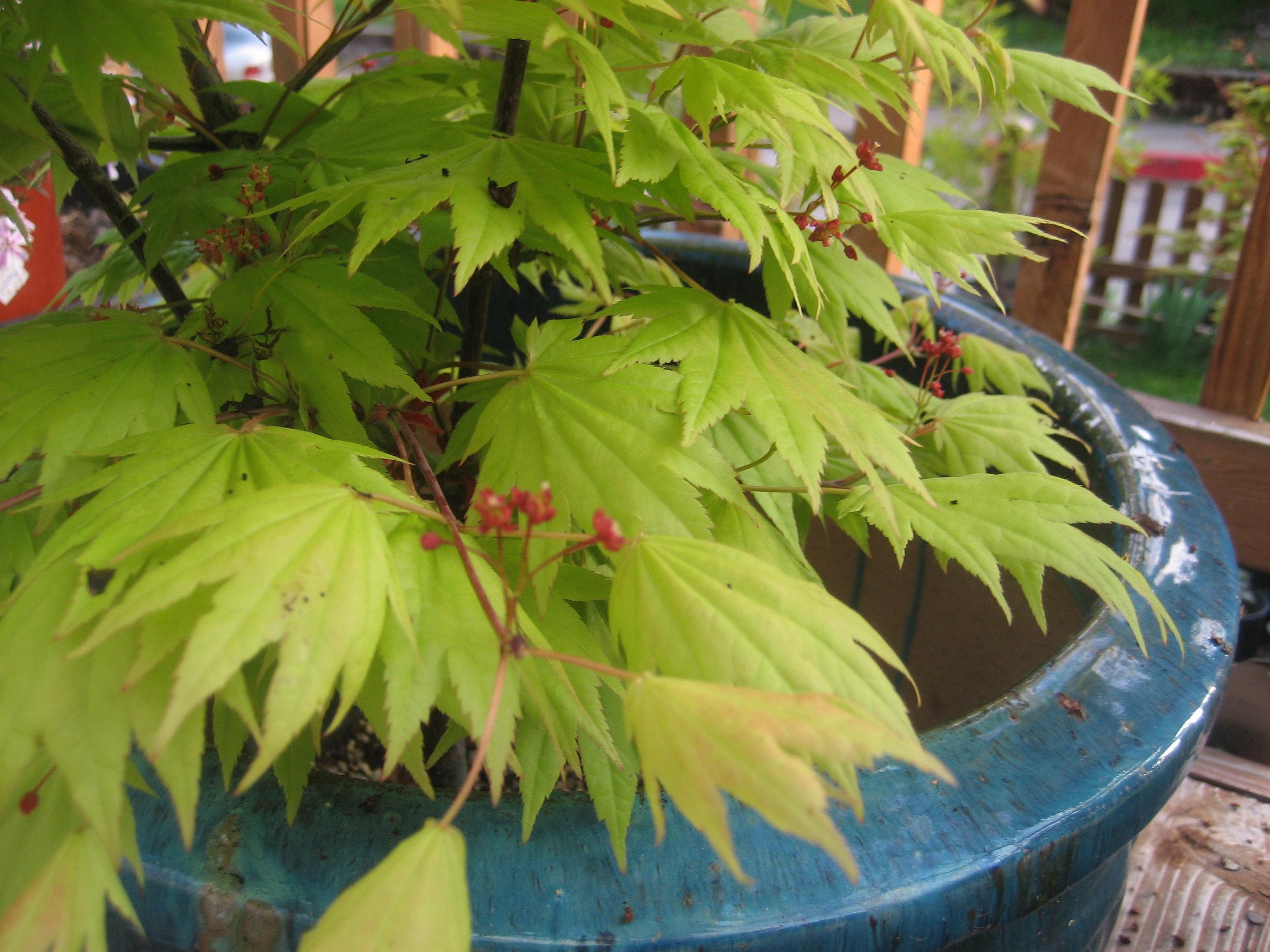 Acer shir 'Autumn Moon' 2.JPG