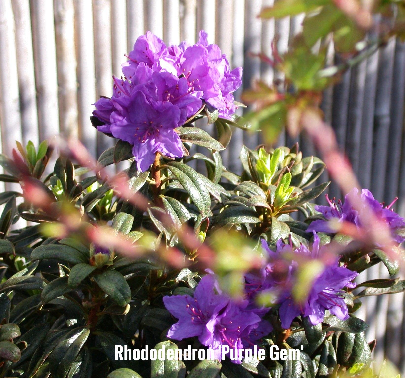 Rhododendron 'Purple Gem'