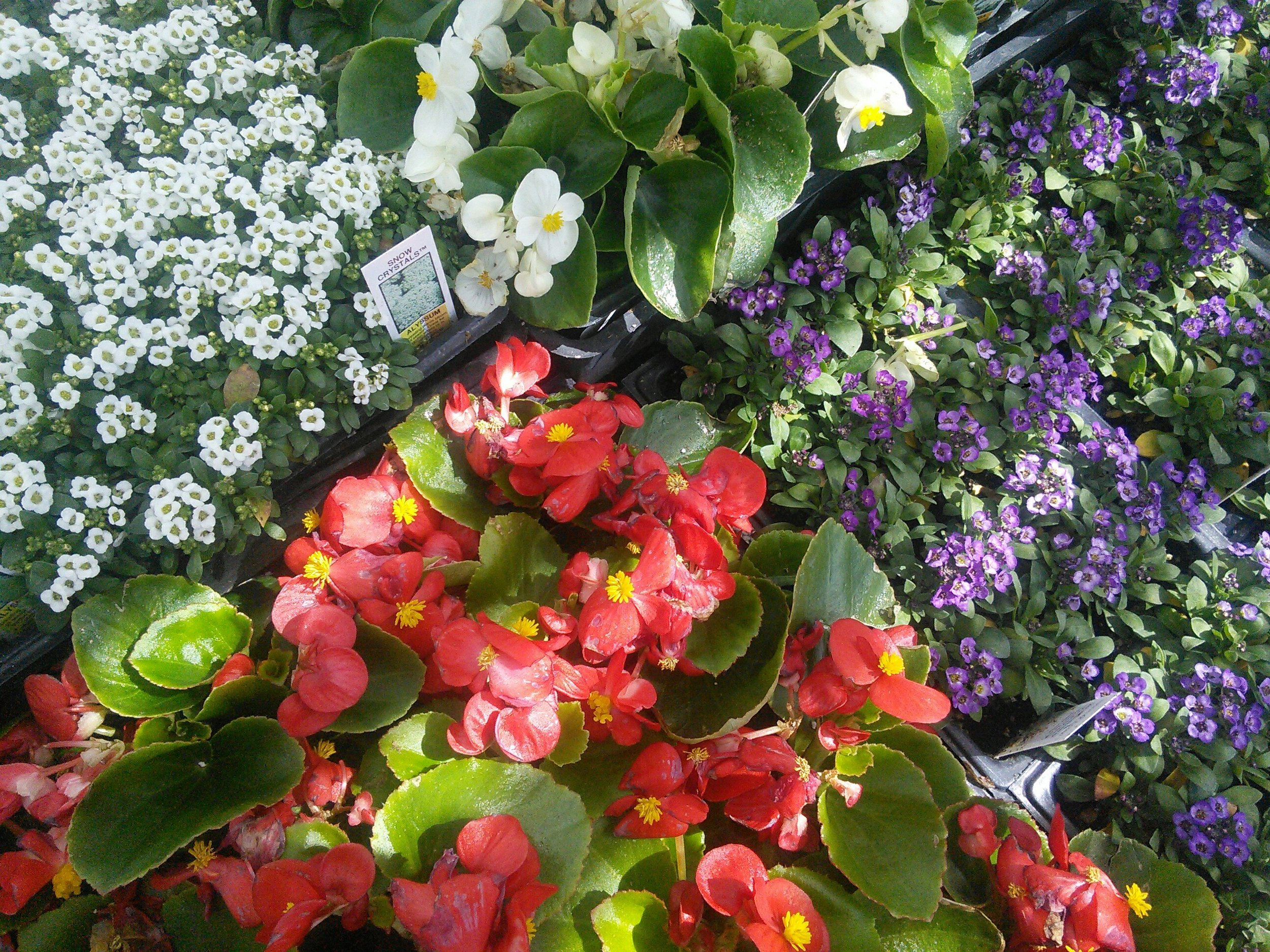 Begonia and Alyssum