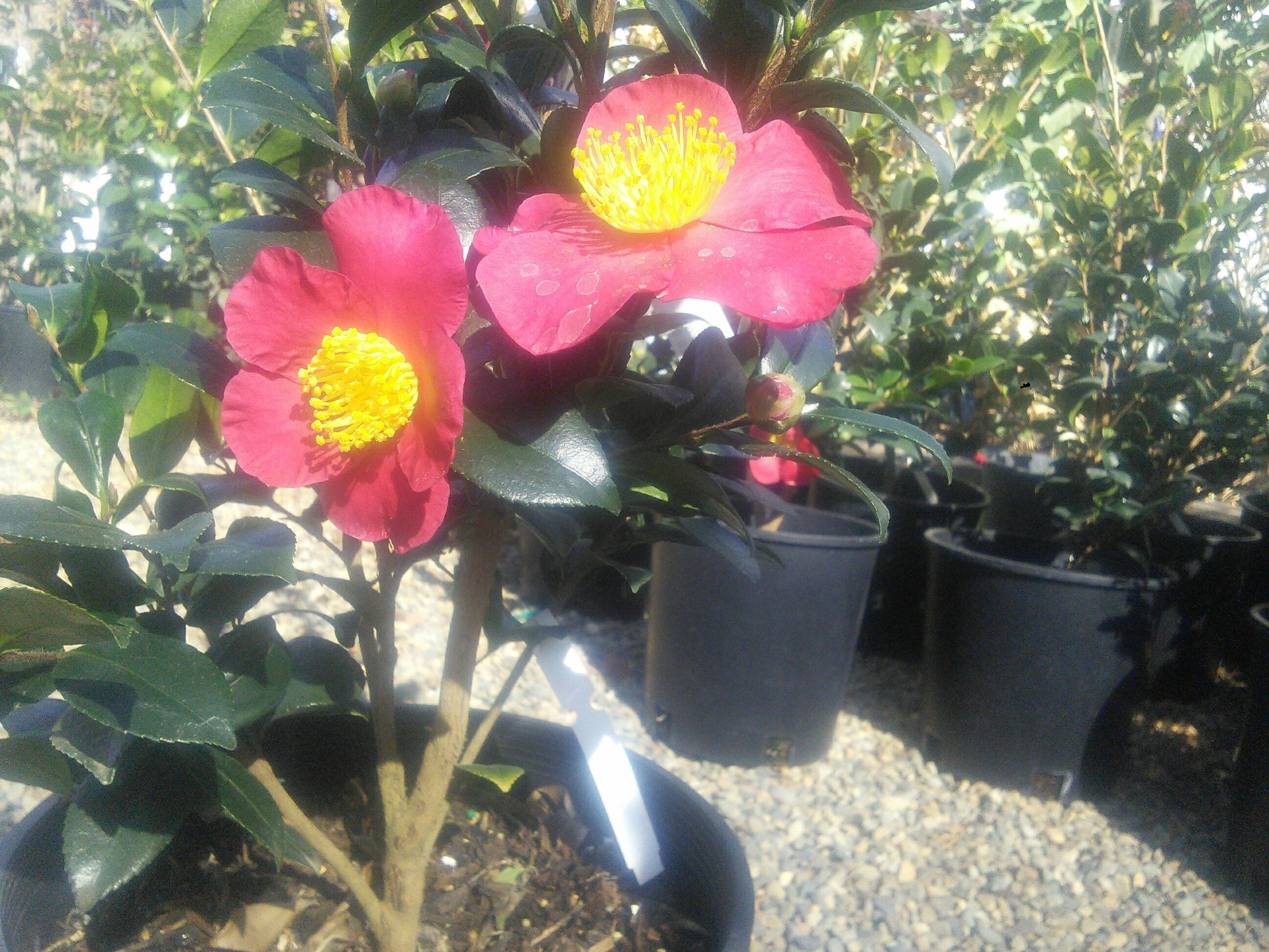 Camellia 'Yultide'