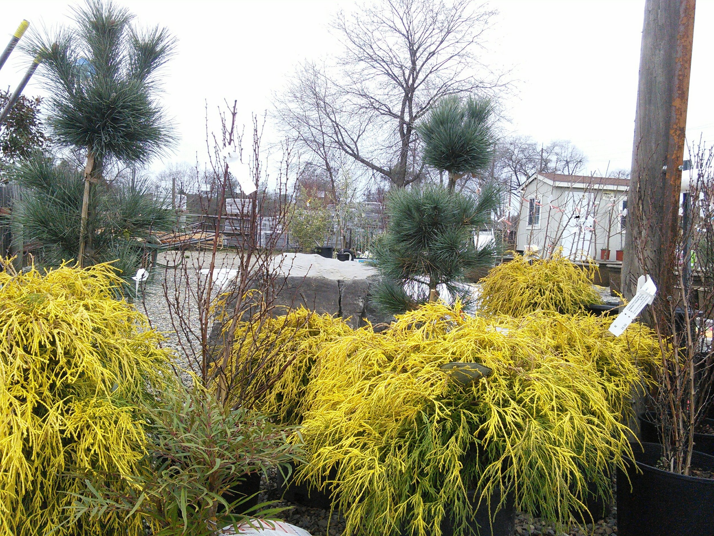 Pinus strobus x flexilis 'Domingo' with Chamaecyparis pisifera 'Golden Mop'