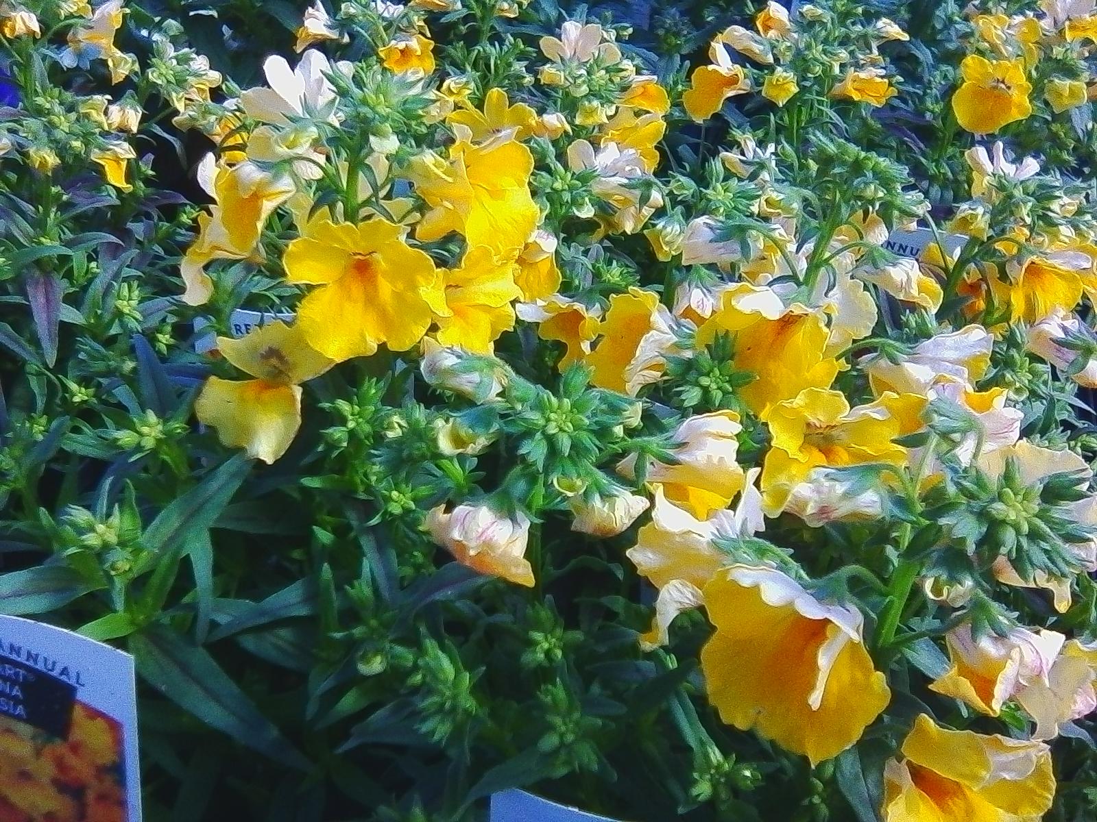 Yellow Nemesia