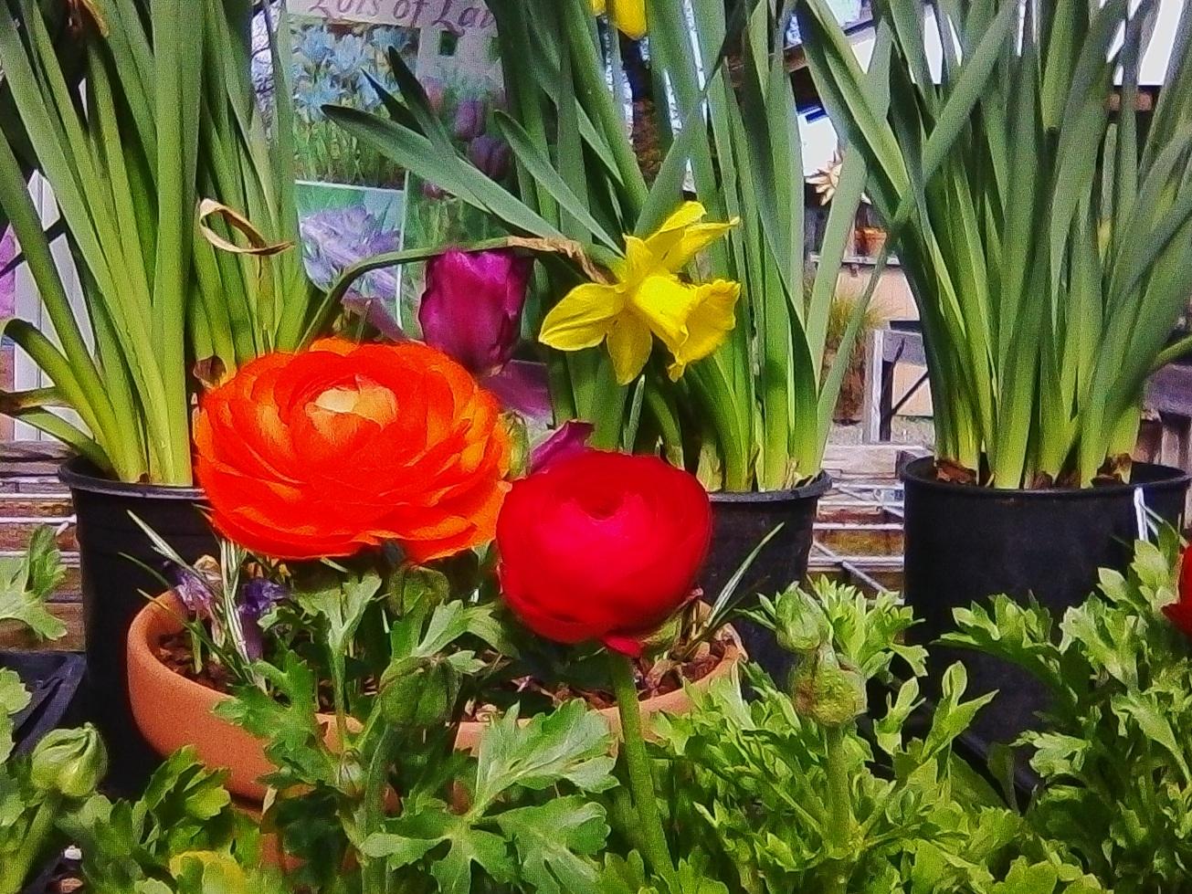 Ranunculus and Narcissus