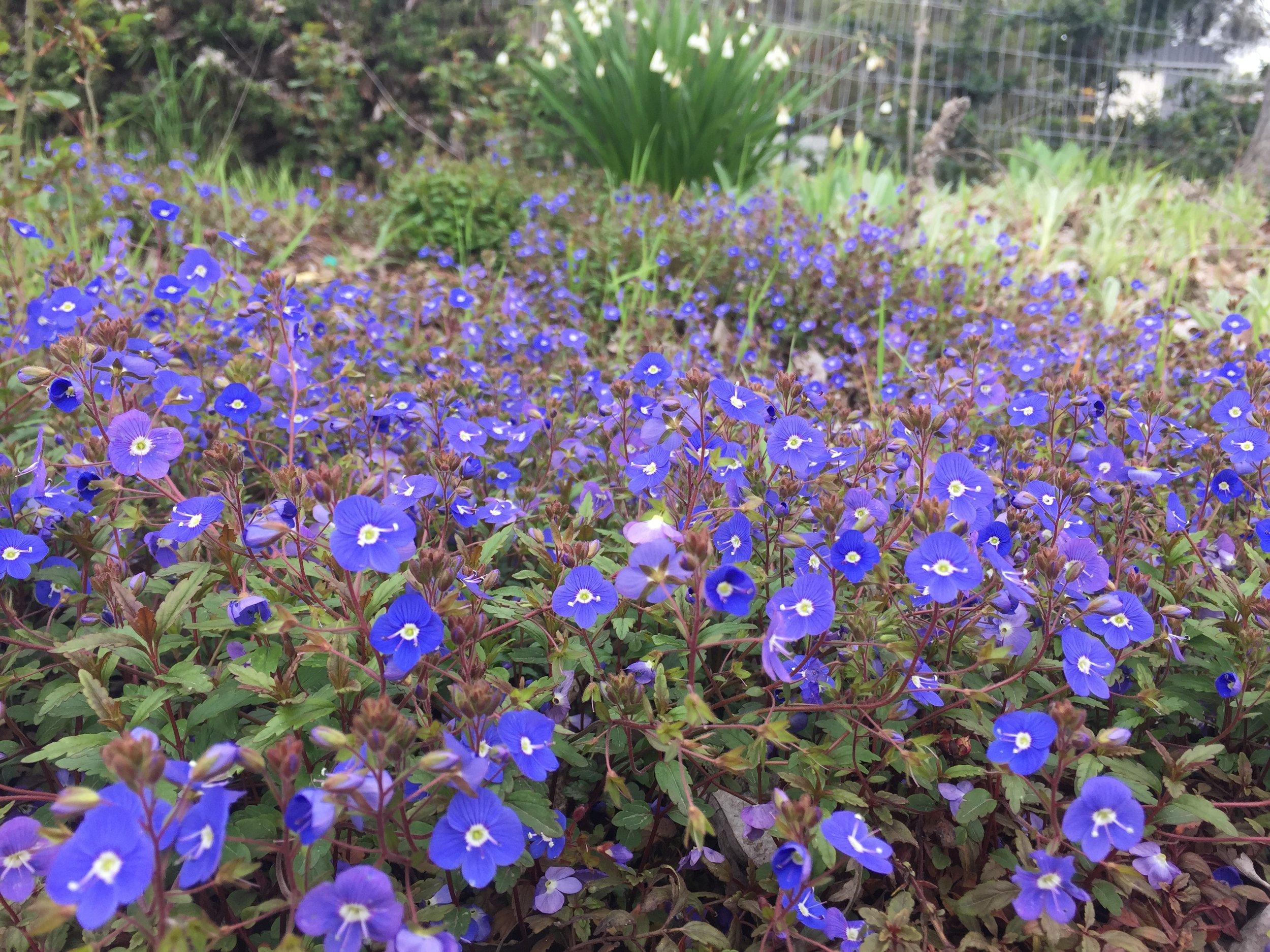 Veronica 'Georgia Blue'