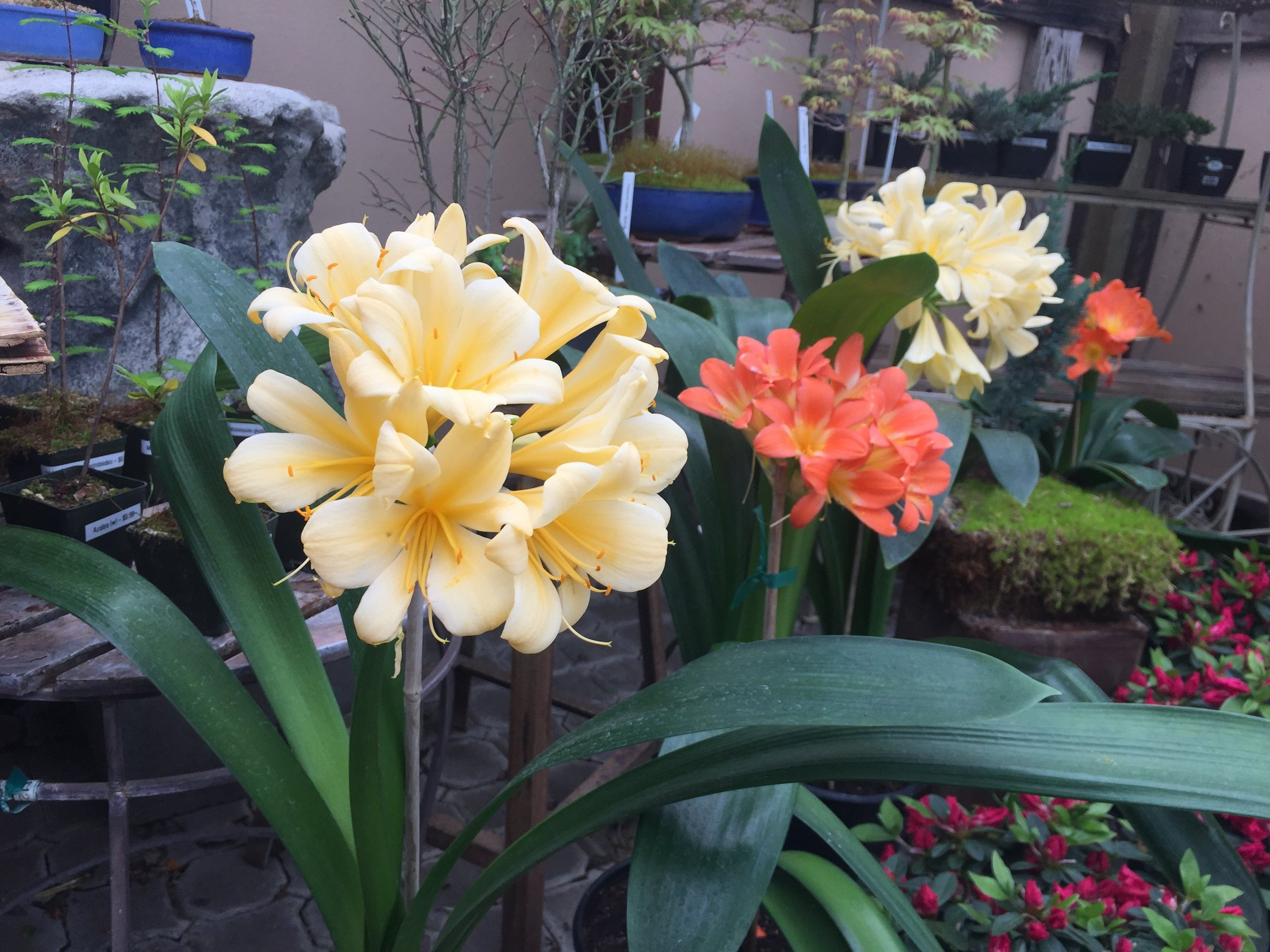 Clivia blooming now!