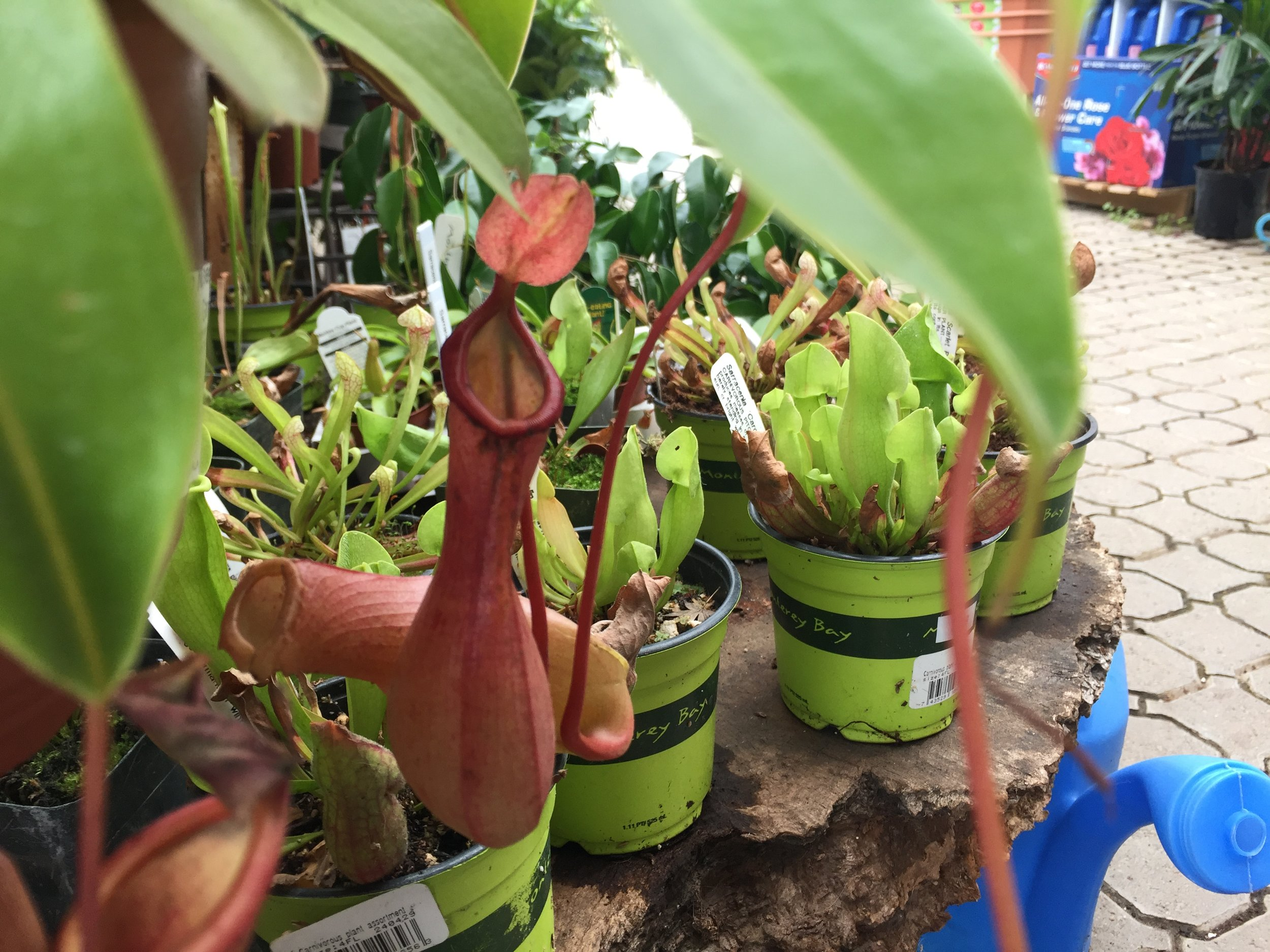 Nepenthes hybrid - Tropical Pitcher Plant