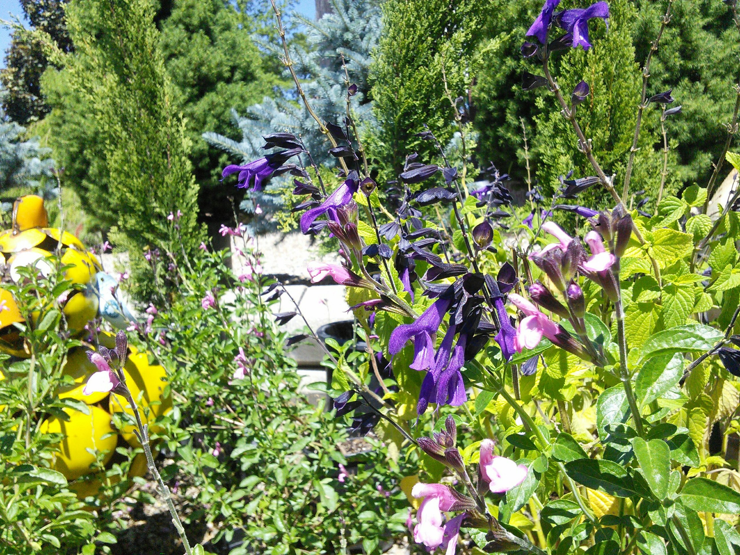 Salvia 'Shadow Dancer' and Salvia 'Amistad'