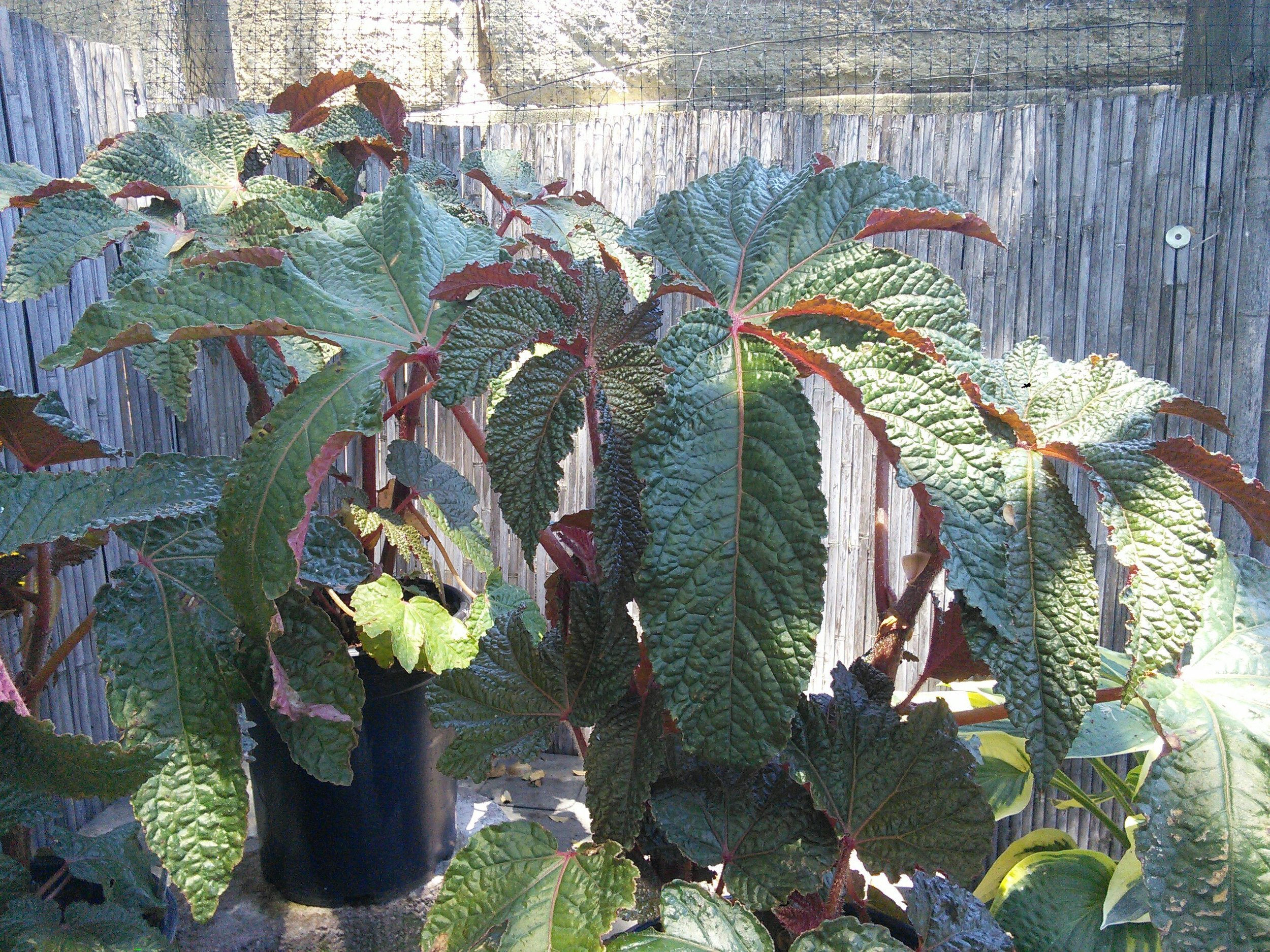 "Begonia hybrid 'Paul Hernandez' - That leaf is about 18"" across!"