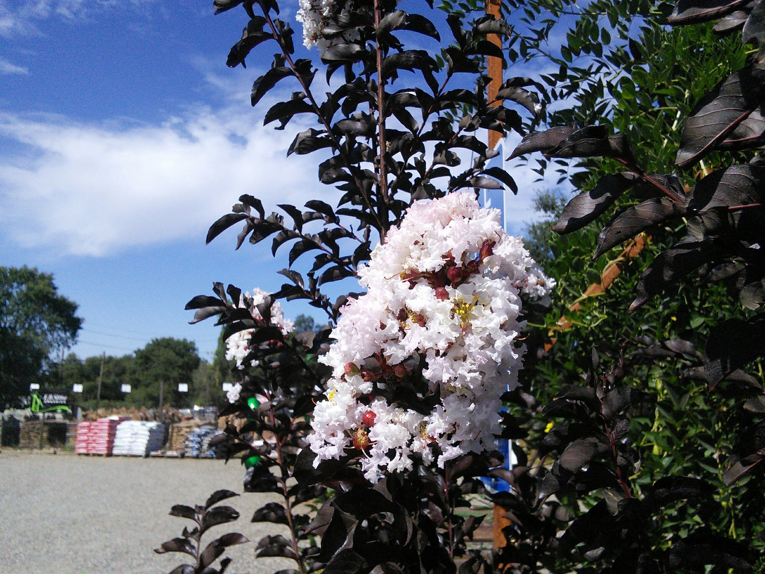 Lagerstroemia 'Moonlight Magic' - Awesome dark foliage
