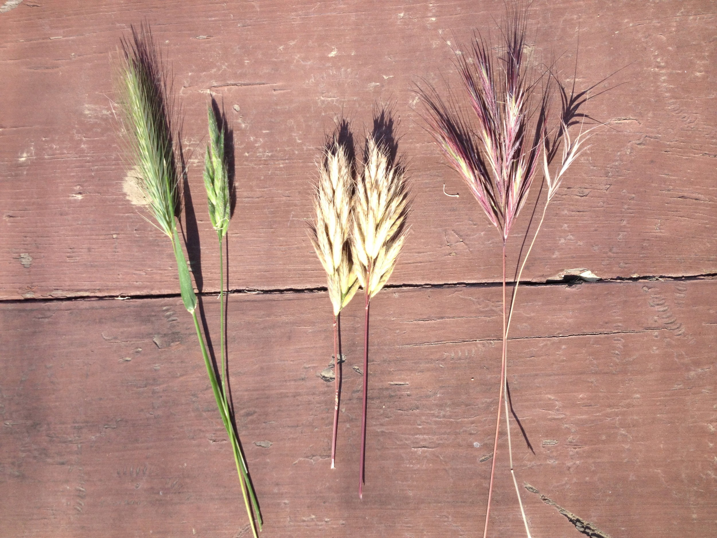 """Photo 1: These are common examples of foxtails; aka anything that has reverse """"spines"""" that once lodged, will stick and travel further into the dog."""
