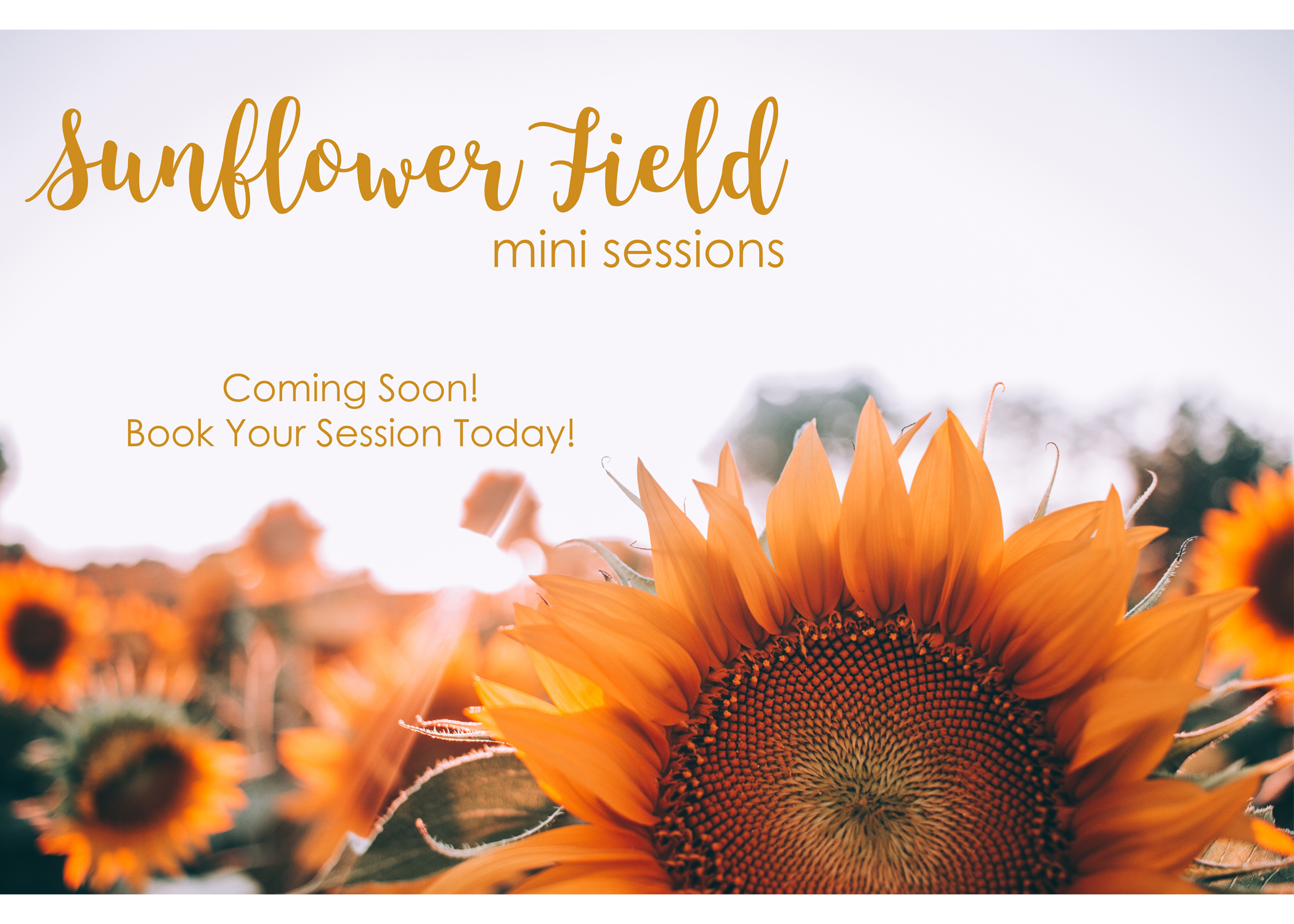 Sunflower field mini sessions in Tuscaloosa AL by Beautiful Horizon Photography. Tuscaloosa Photographer.