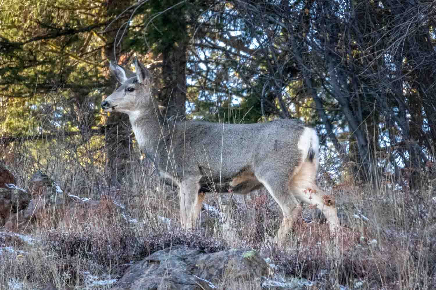 Deer along Hells Canyon Scenic Byway - Photo by Ron Huckins