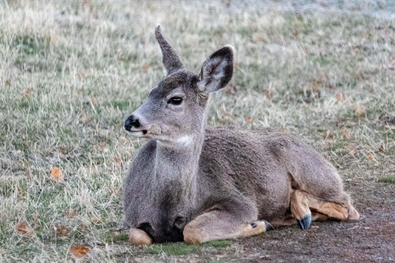 Deer in Joseph, Oregon - Photo by Ron Huckins