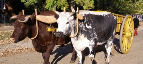 Yoke with cattle.jpg