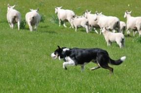 Sheep herding dog.jpg