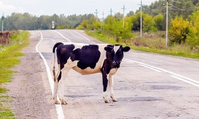 Cow in Road.jpg