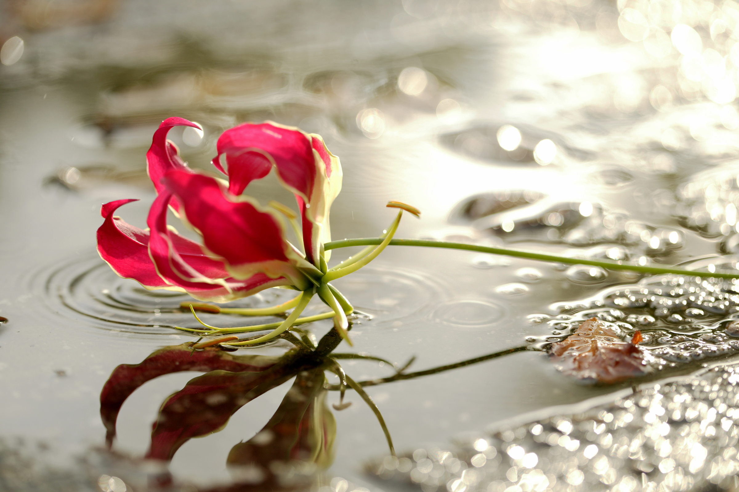Flower in puddle.jpg