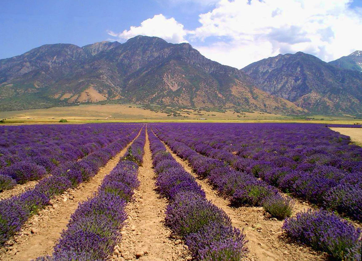 Young Living Lavender Farm via Flickr /  ka2rina