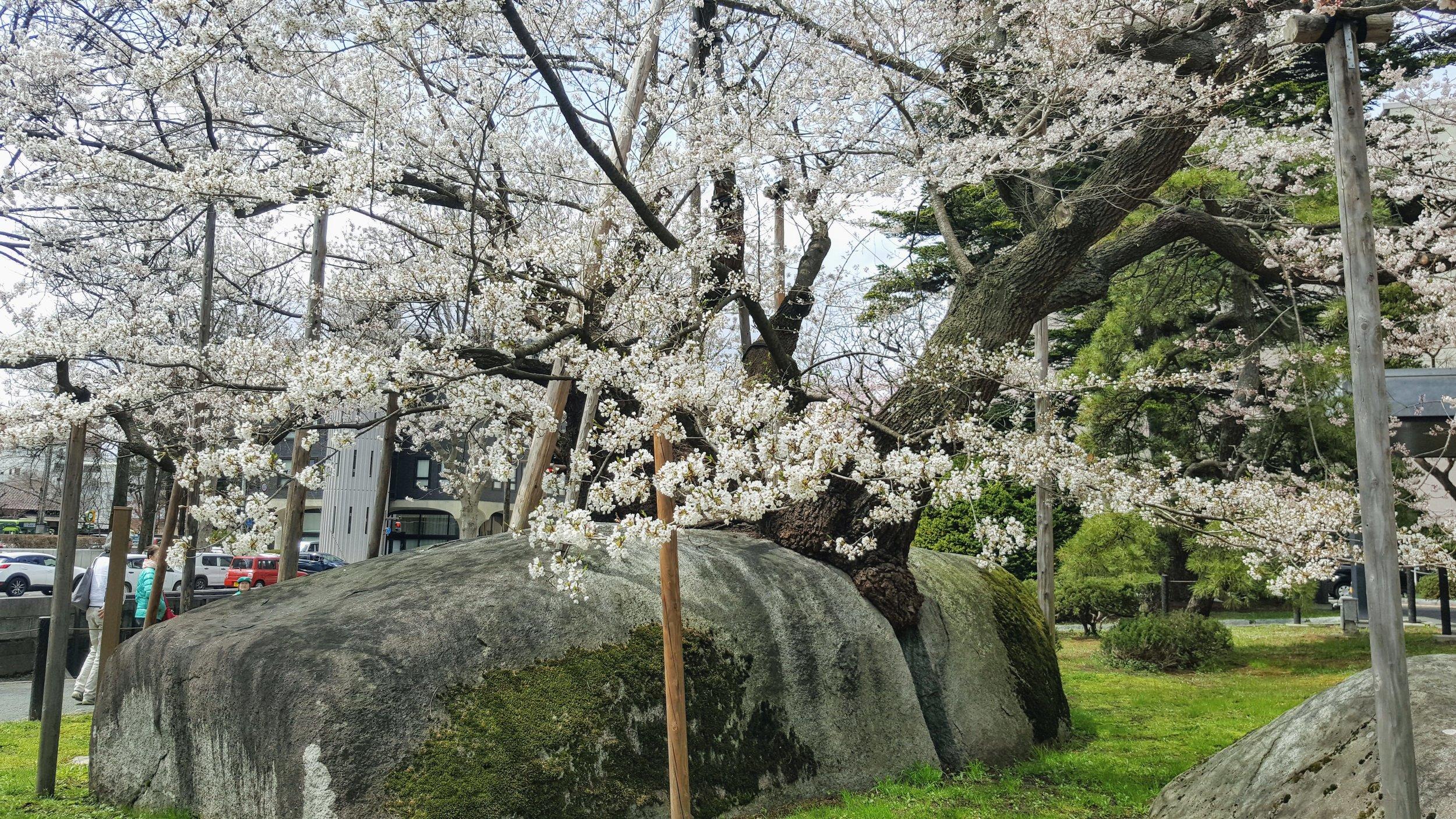 Rock-splitting cherry tree