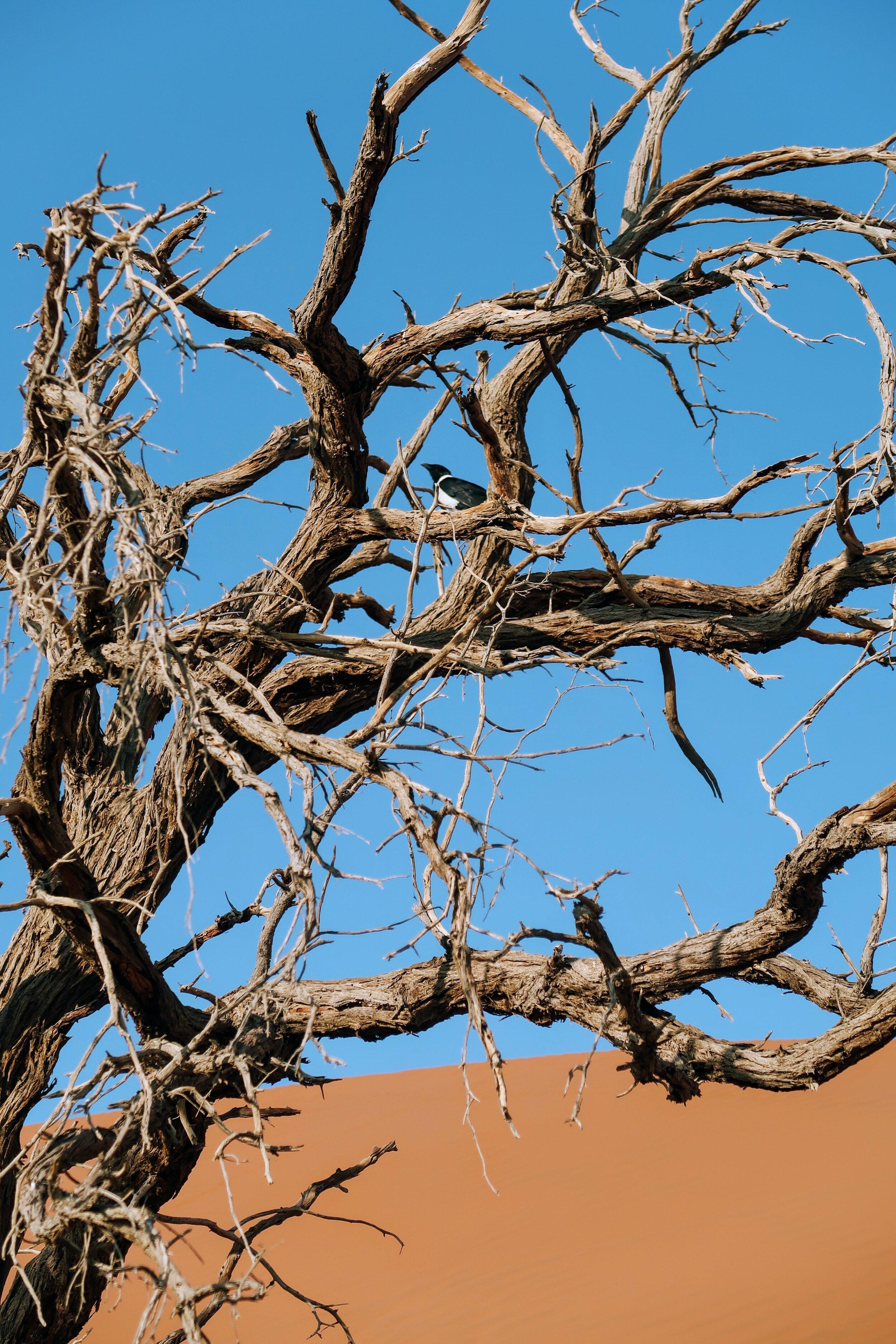 birdlife-sand-dune45-namibia