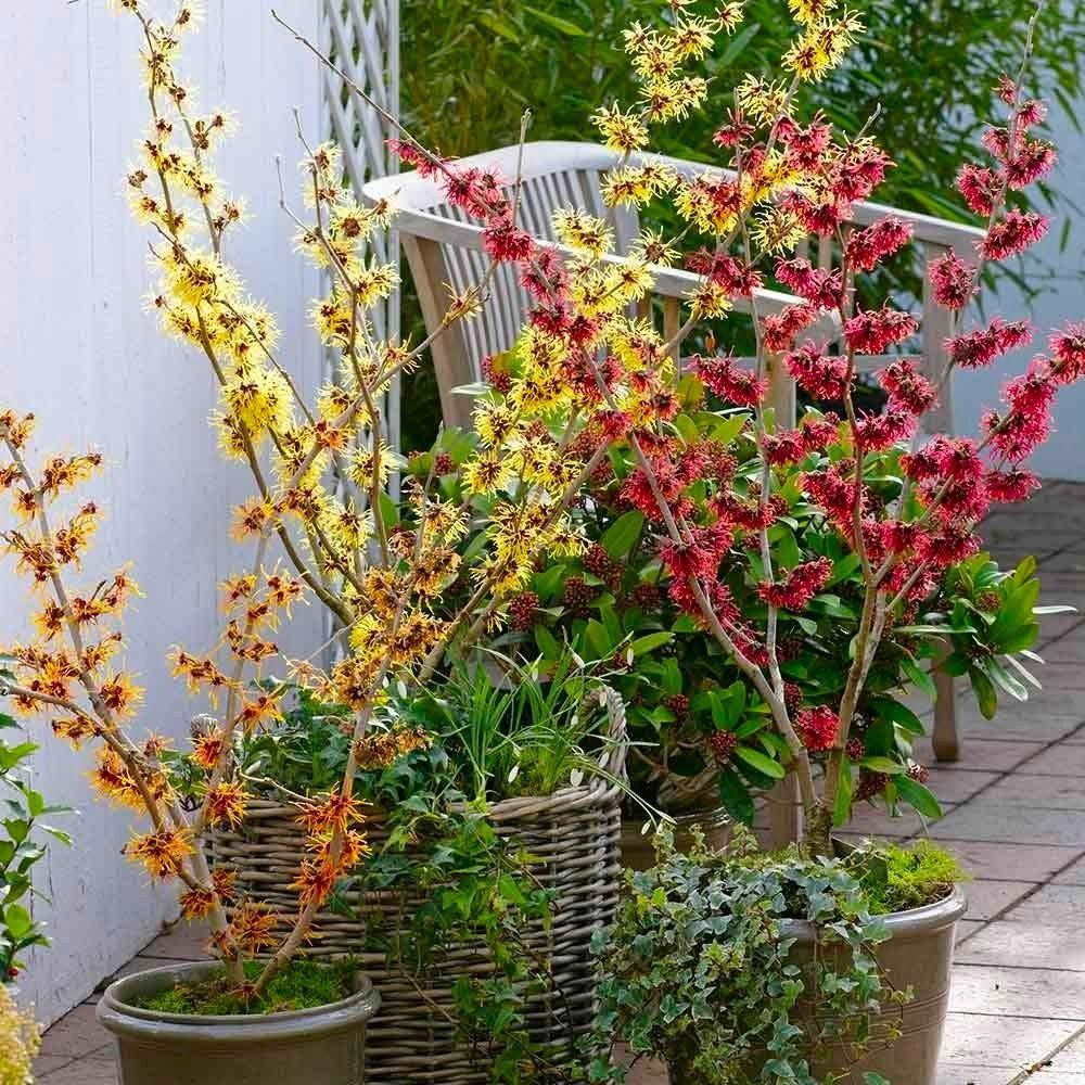 Plant Of The Month Witch Hazel Emily Grace Garden Design
