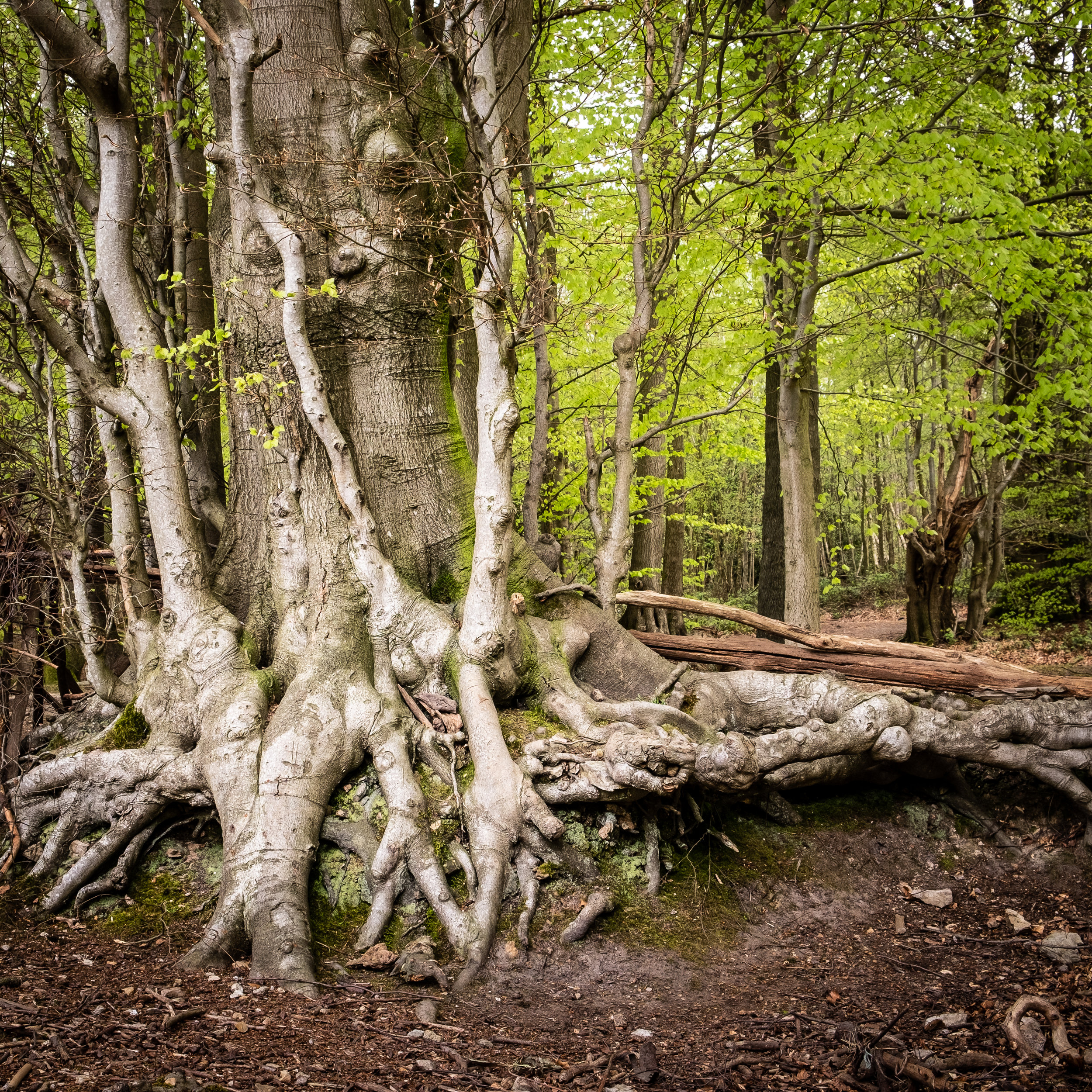 Ancient Woodland - Toys Hill