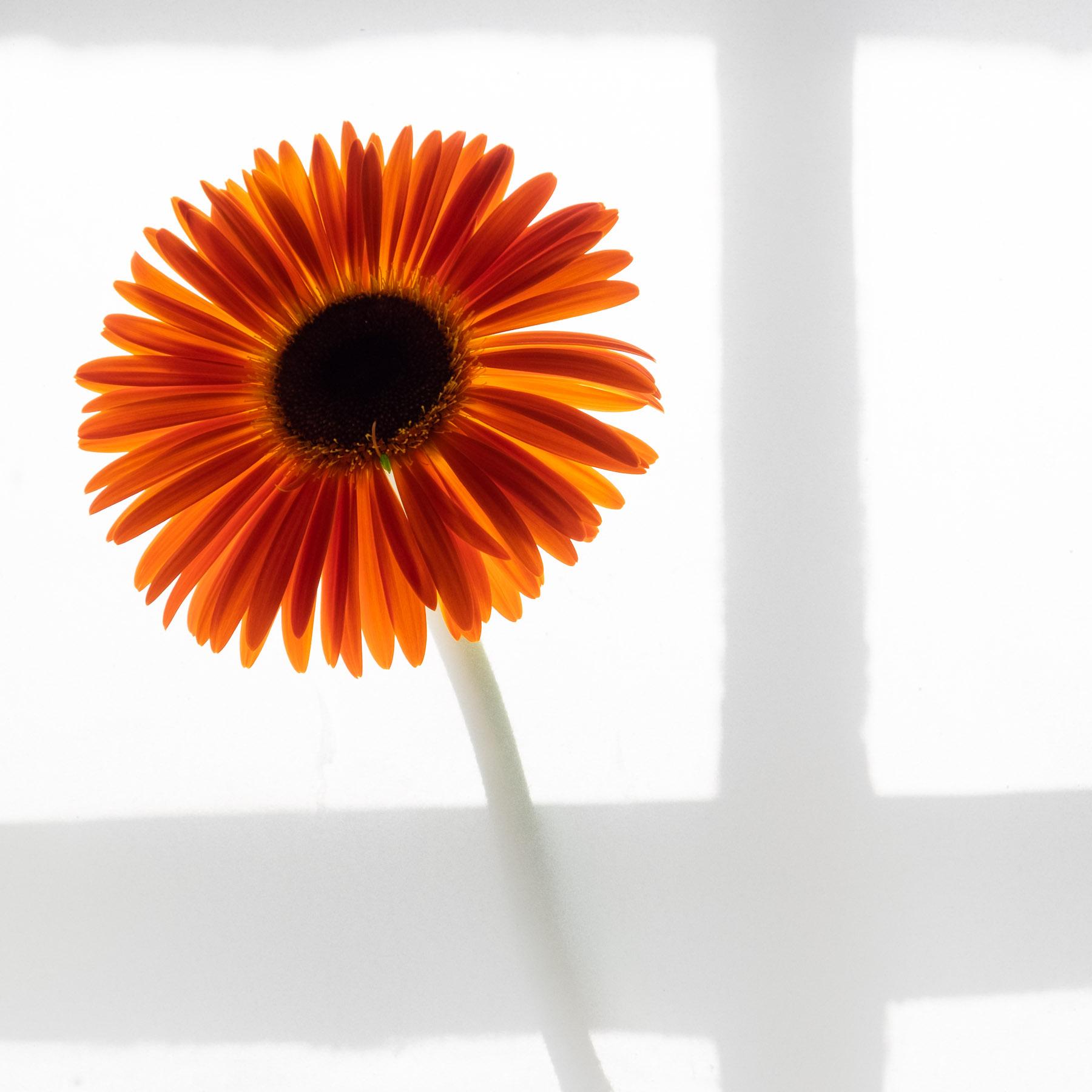 #gerbera #flowers