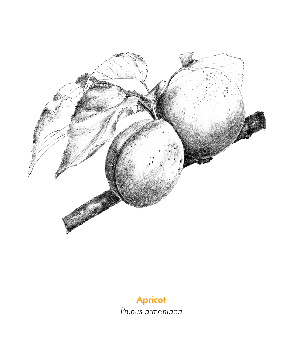 JC-LuckyCloud-Apricot.jpg