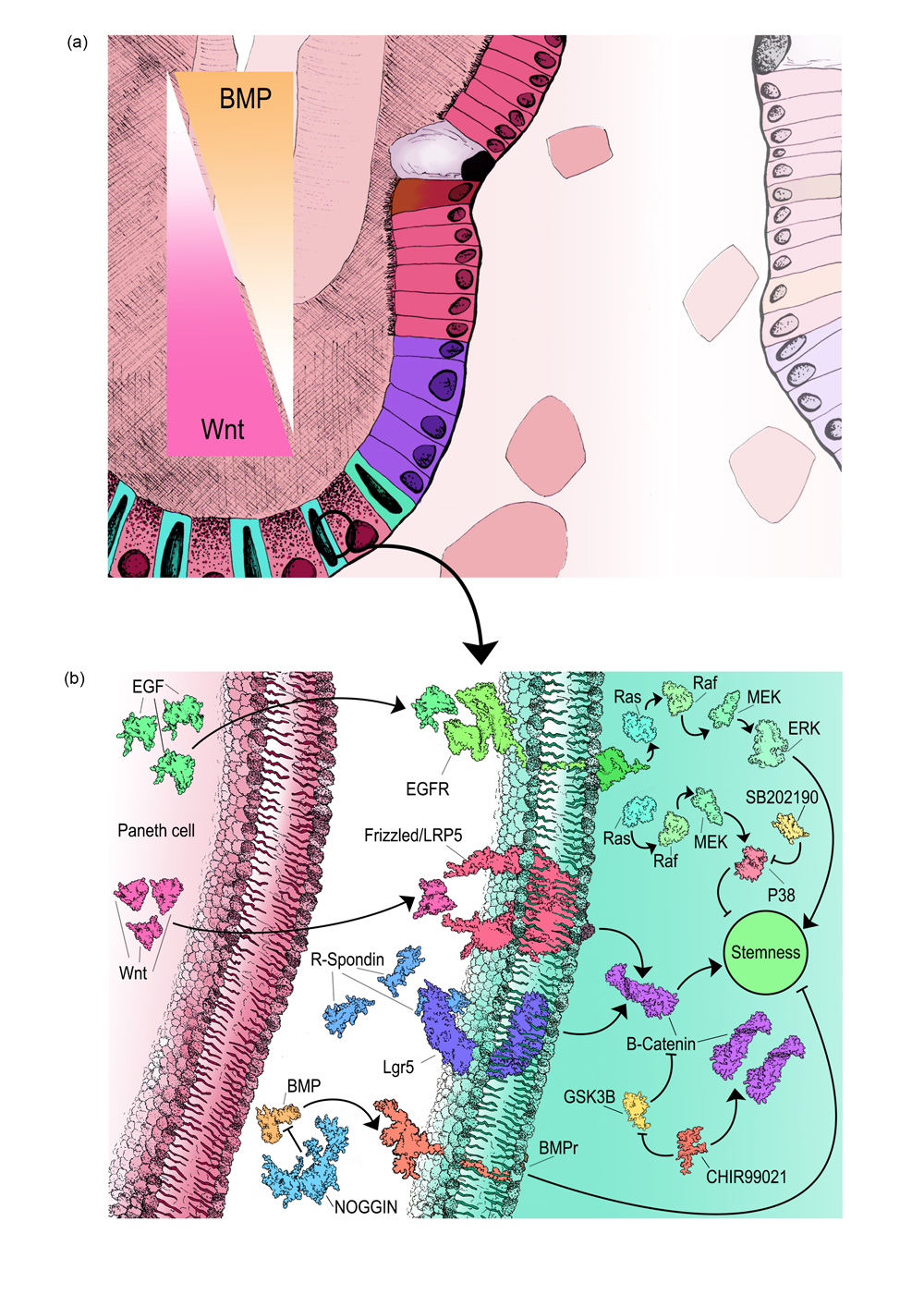 Figure 2: detailing the molecules present in an intestinal stem cell (and their concentration) in order to maintain multipotency.