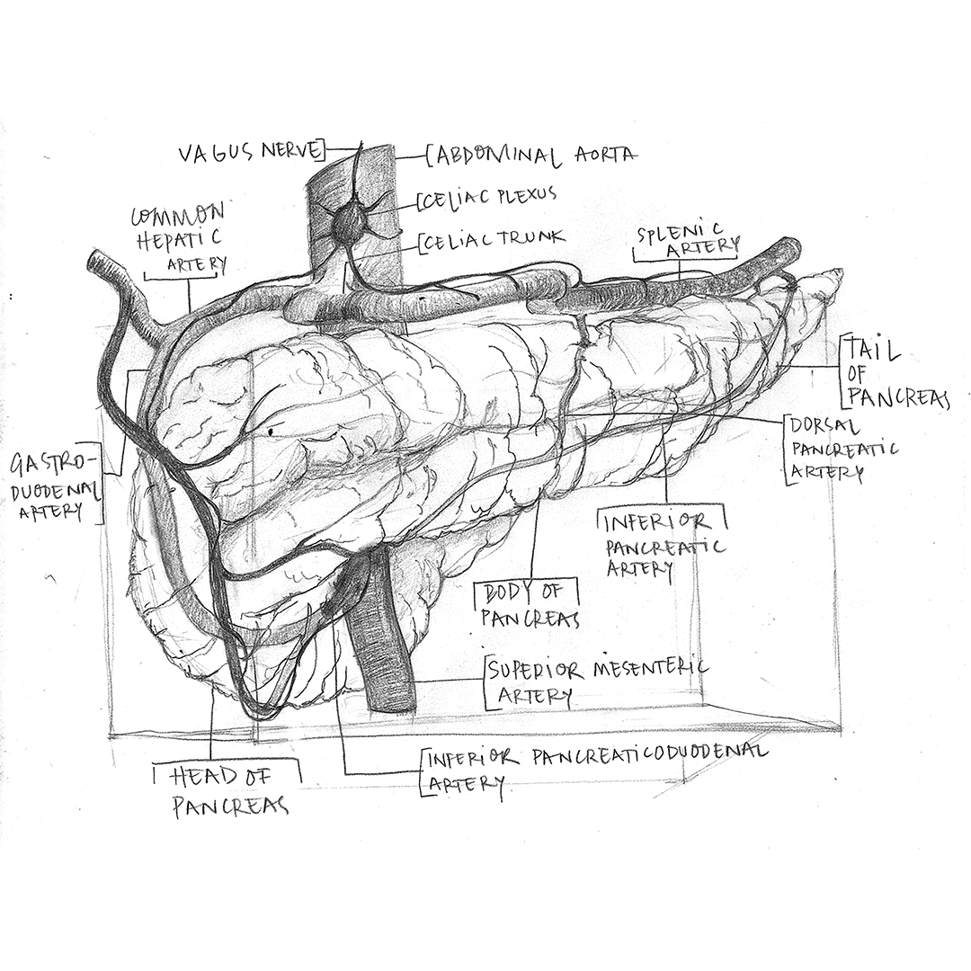 Pancreas-Sketch.jpg