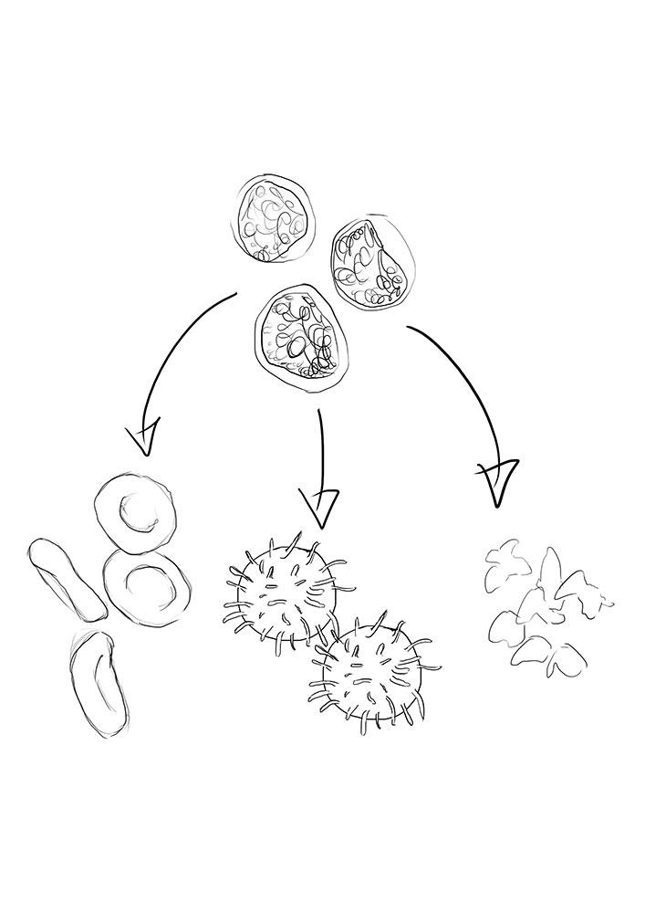Rough sketch for Adult Stem Cells