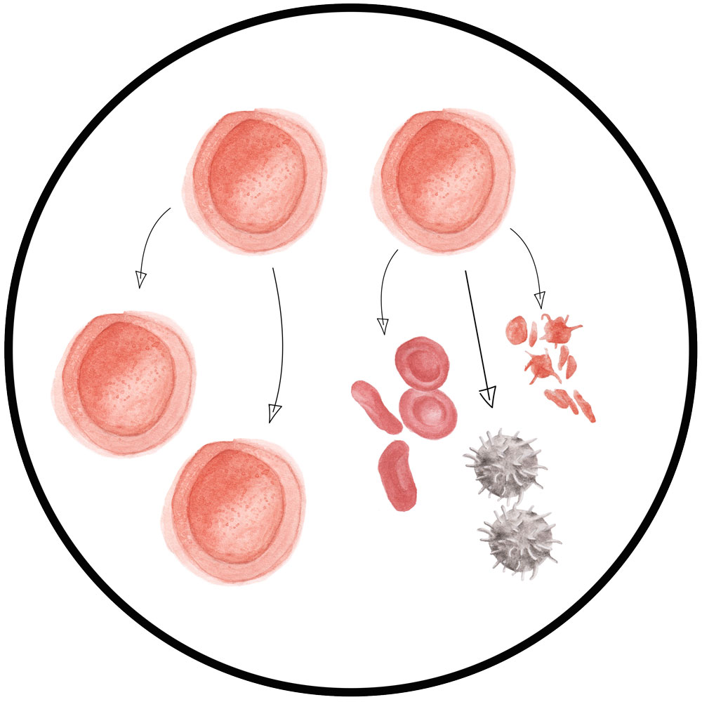 Stem Cell -    click for BSL term