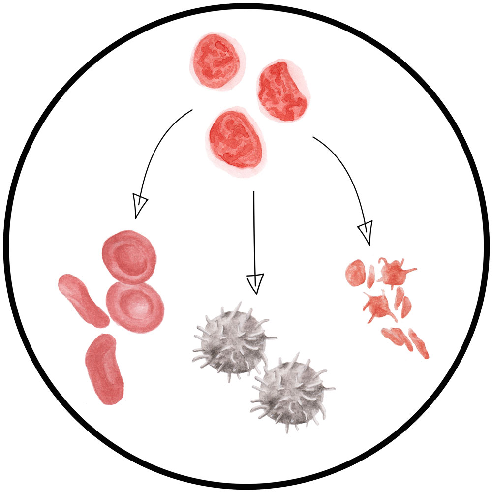Mutlipotent Cells -    click for BSL term