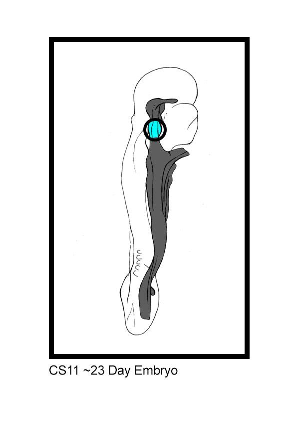 23-Day-Embryo.jpg