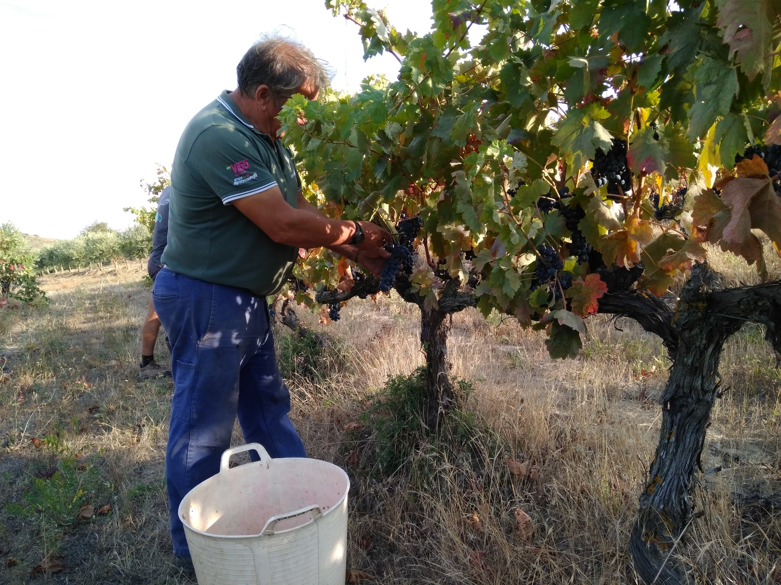 Biurko Picking grapes.jpg