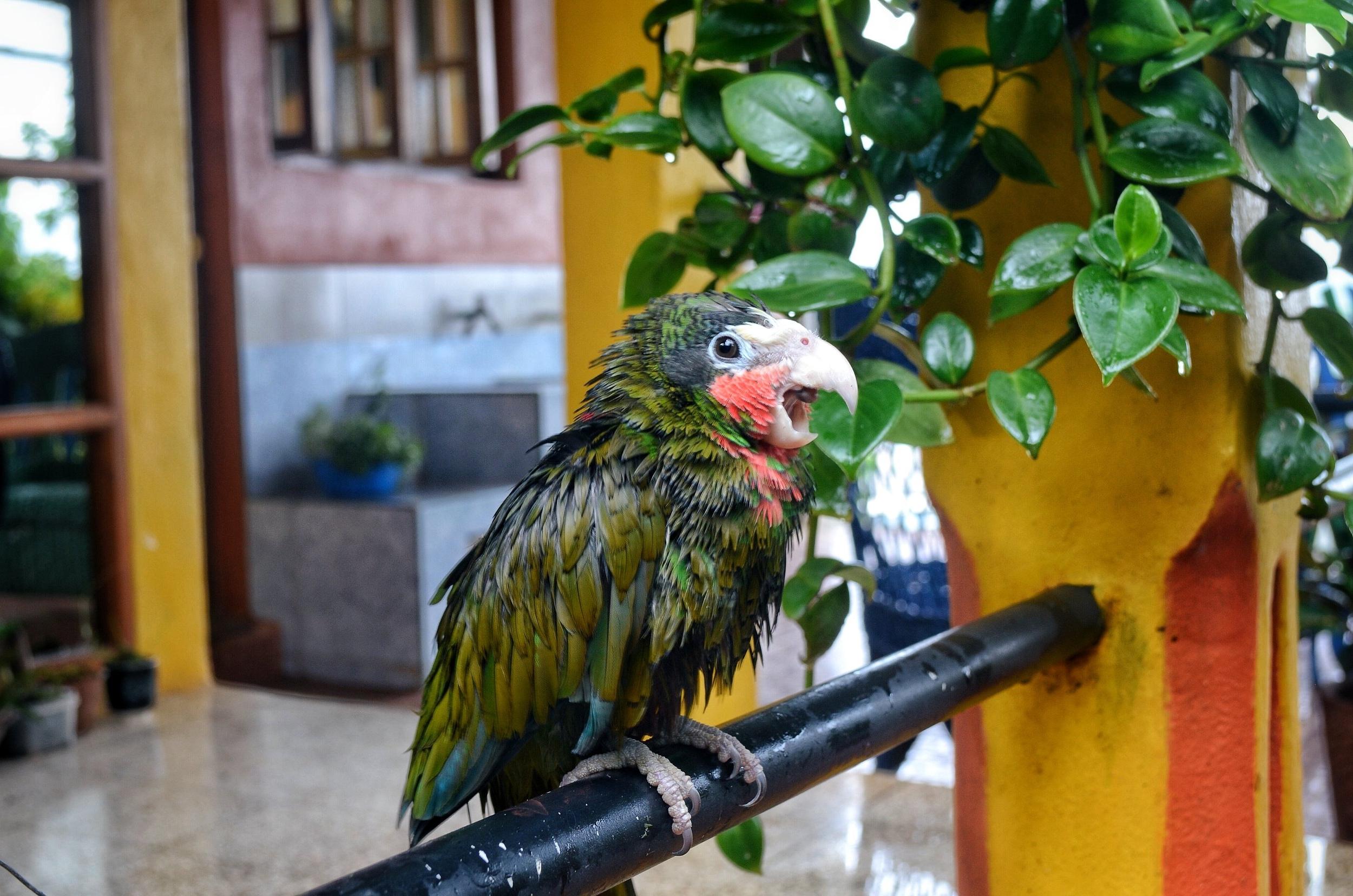 Lola the Parrot at Villa Paradiso - Baracoa, Cuba