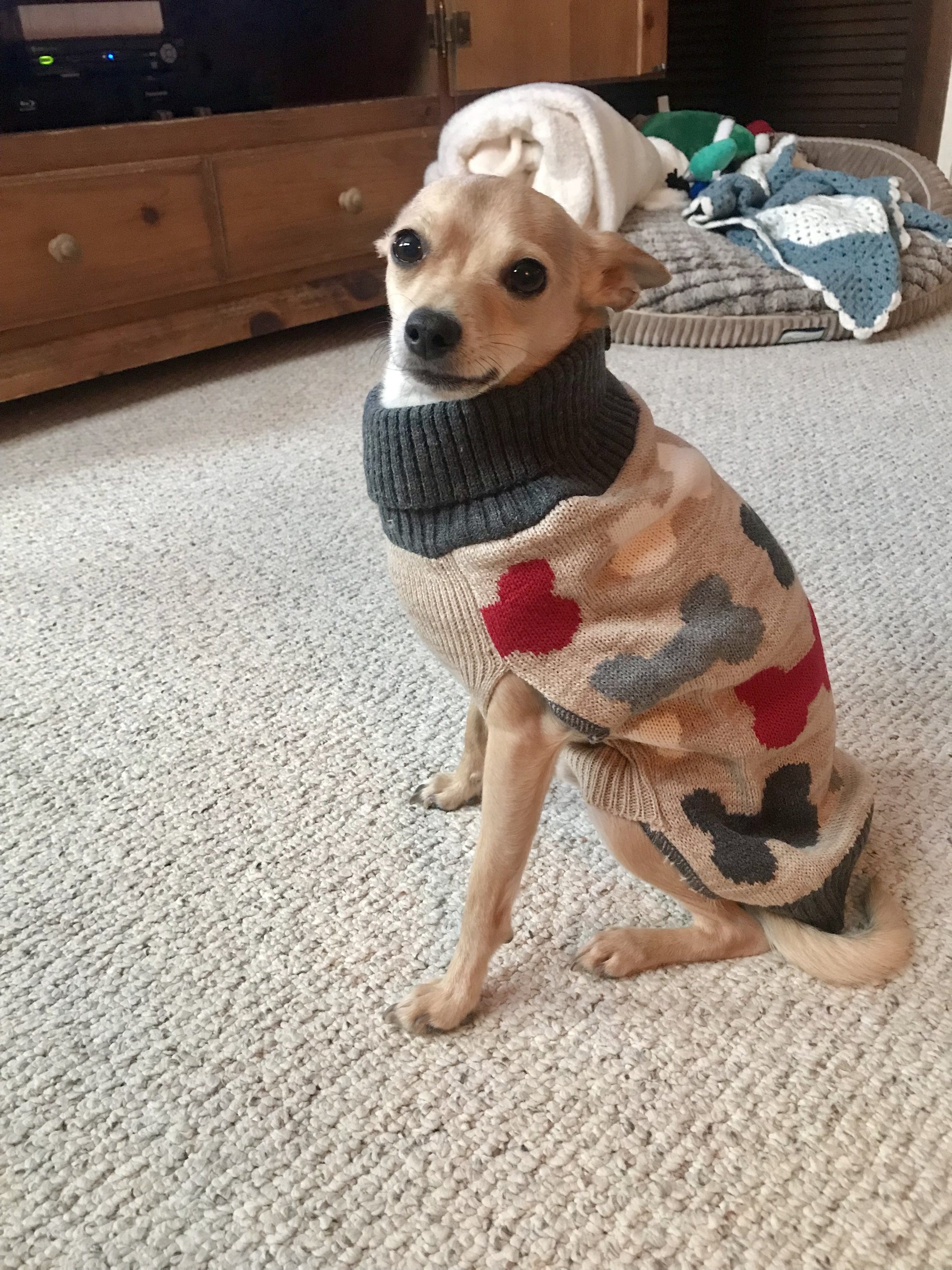 Loving this cute dog bone sweater for Cooper from PetCo!