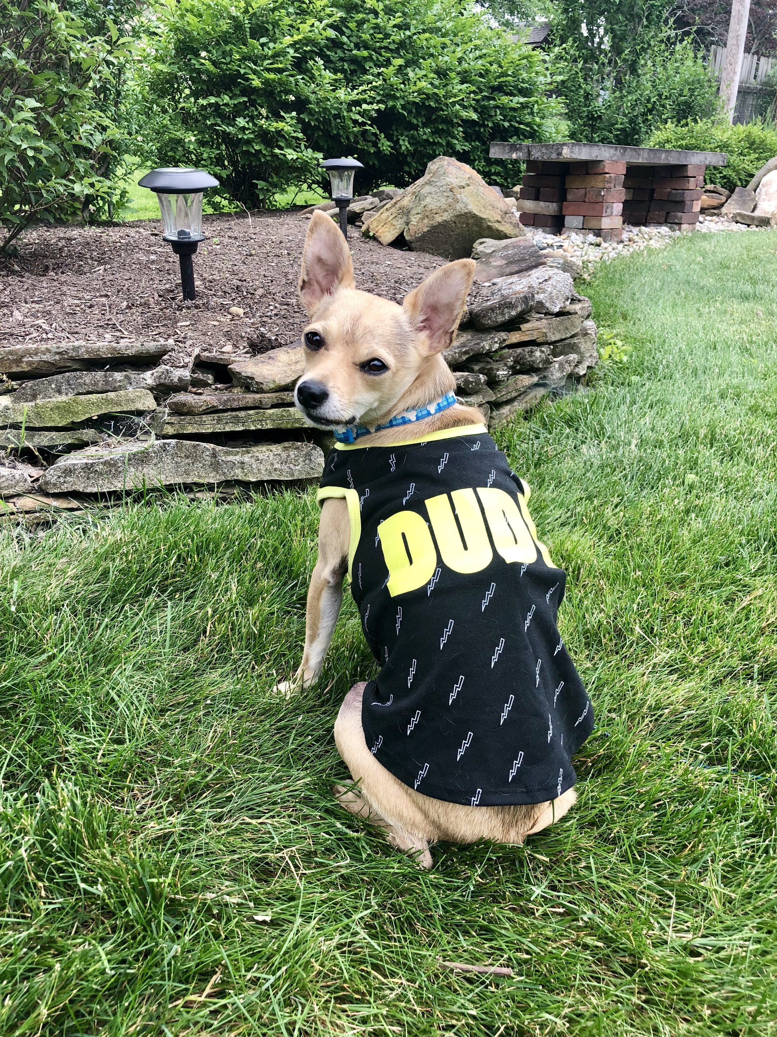 """Cooper loves summer time--he just wants to lay in the grass! How cute is this """"Dude"""" t-shirt from Pet Supplies Plus?! It's perfect for summer time. Check it out below! Cooper is wearing a size Medium."""