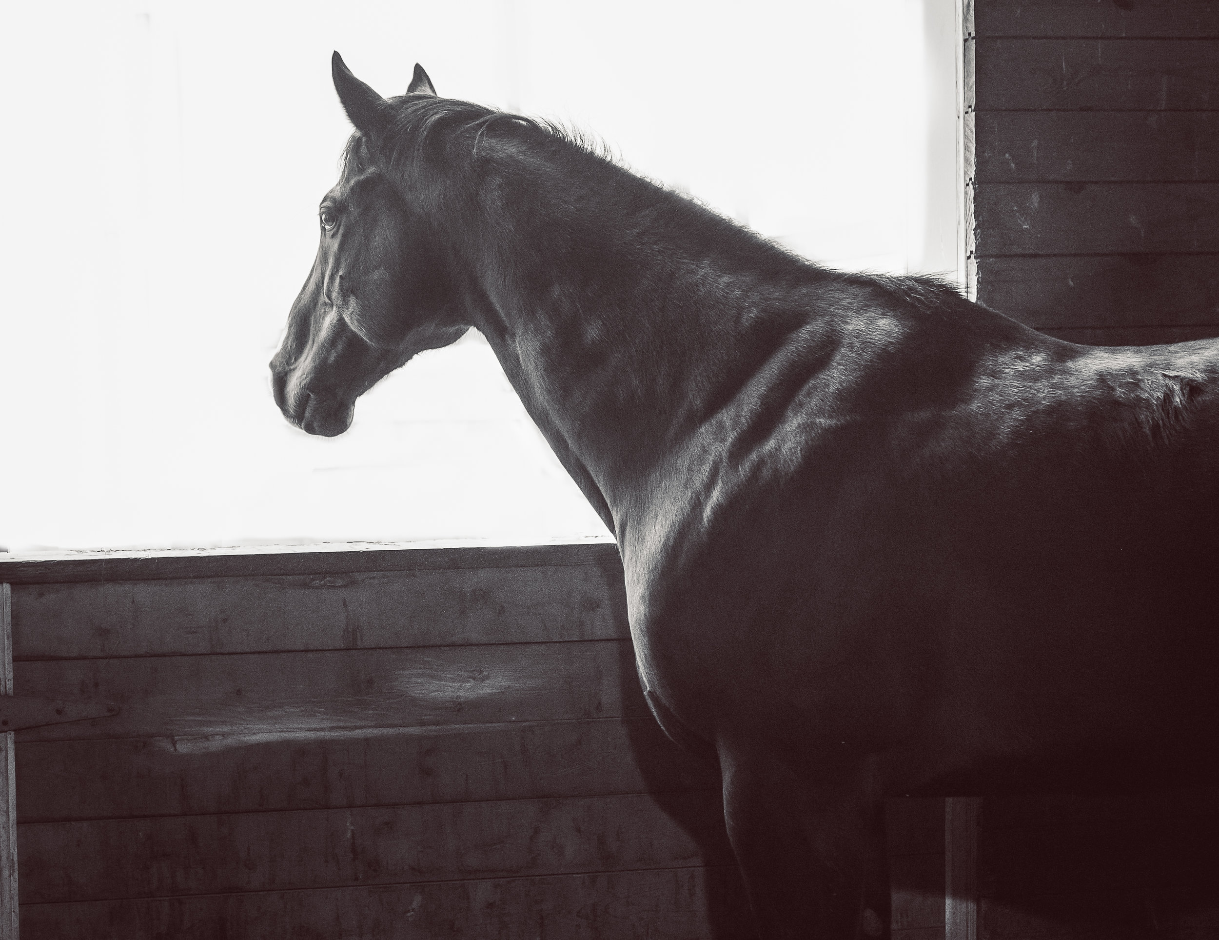 SOLITUDE  A rare moment of reflections and solitude for our star athlete and American Race Horse, Rocky.