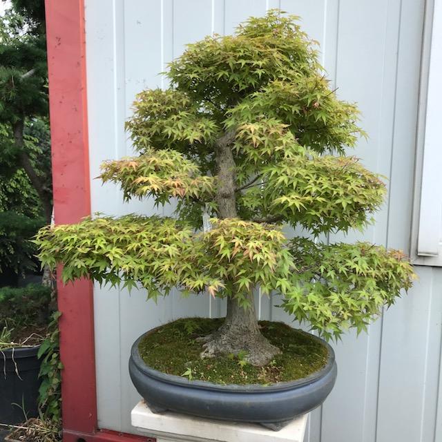 Acer palmatum 'Benichiko'